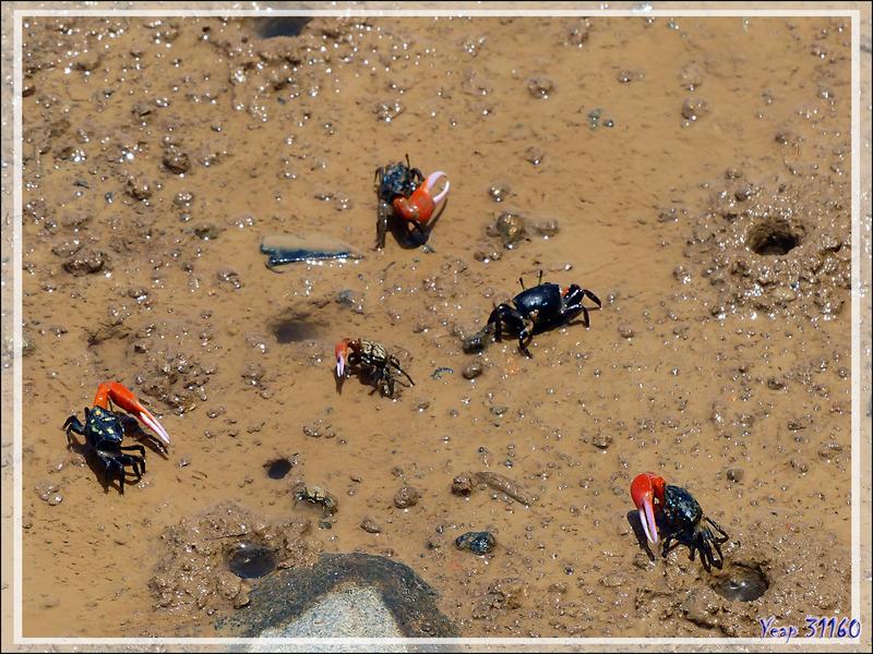 Crabe violoniste commun, Common fiddler crab (Uca tetragonon) - Maeva - Huahine - Polynésie française