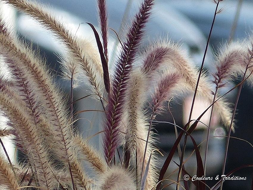 Herbes aux écouvillons