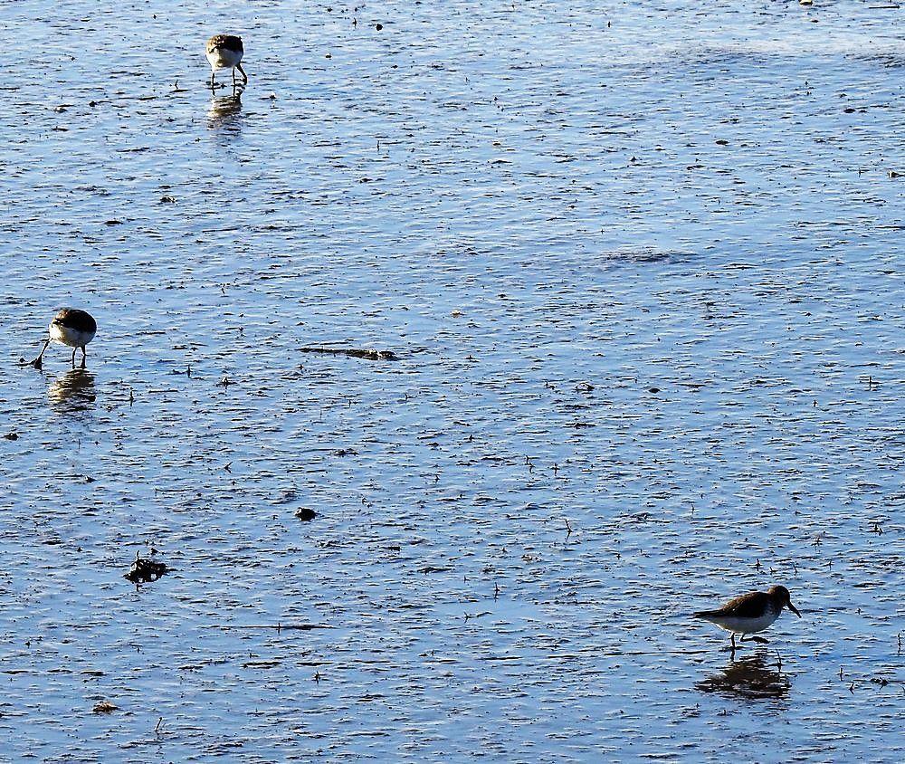 Petits limicoles au bord du Bassin d'Arcachon - décembre 2020...