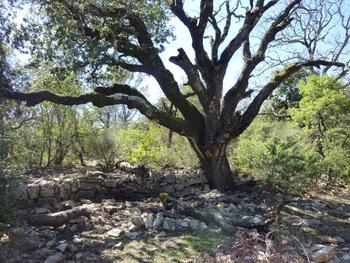 Le grand chêne vert malade