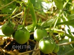 pomme de terre qui se prend pour une tomate