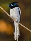 Tchitrec malgache ou Gobe-mouche de Paradis mâle immature, Malagasy Paradise Flycatcher  (Terpsiphone mutata) - Grande Mitsio - Madagascar