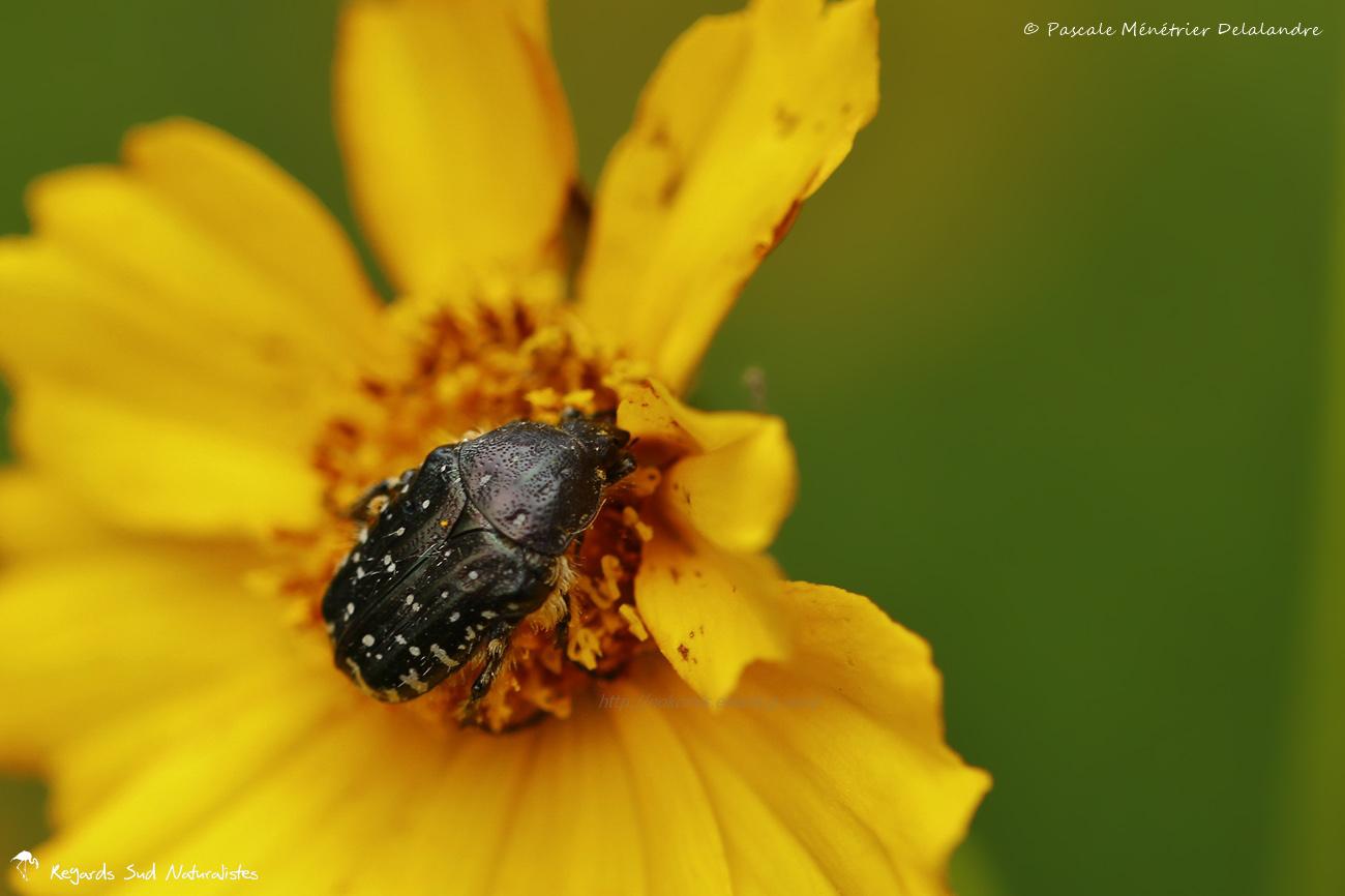 """Cétoine grise (Oxythyrea funesta) - Cétoine noire à points blancs, """"drap mortuaire"""", cétoine funeste"""