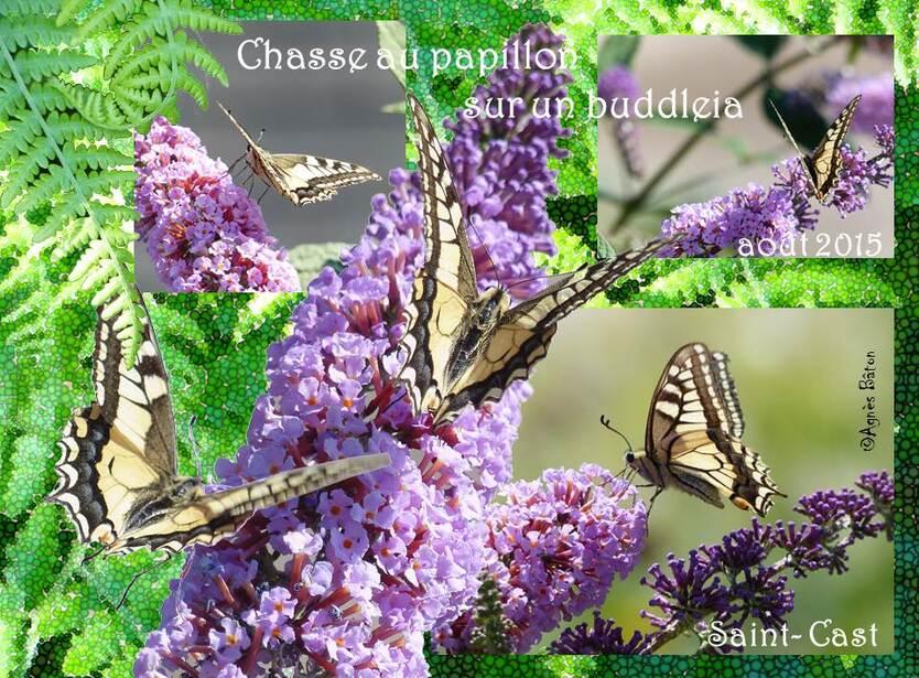 Papillon sur budleia