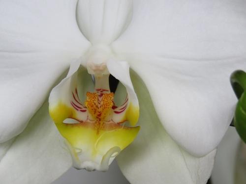 Les orchidées de Marcelle,