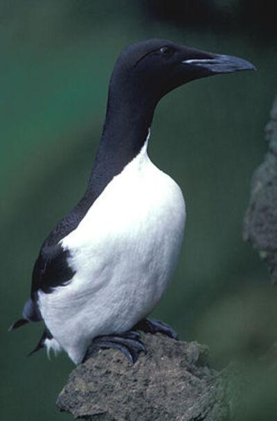 Mort inexpliquée de milliers d'oiseaux marins