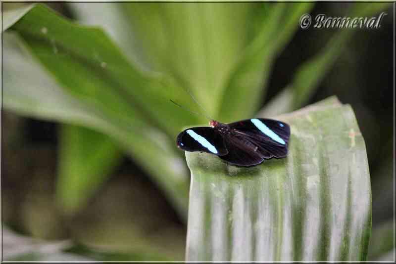 Papillons tropicaux Nessaea aglaura