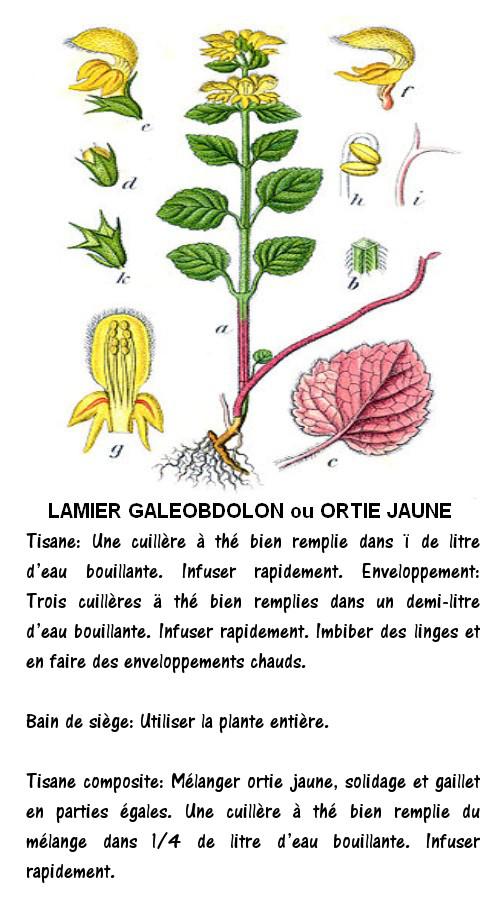 LAMIER GALEOBDOLON