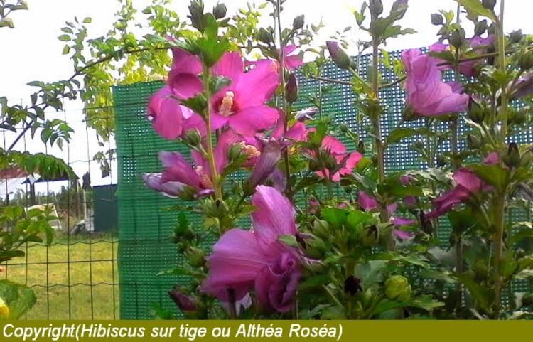 faire une haie fleurie pour la belle saison avec des Altheas ou hibiscus sur tige
