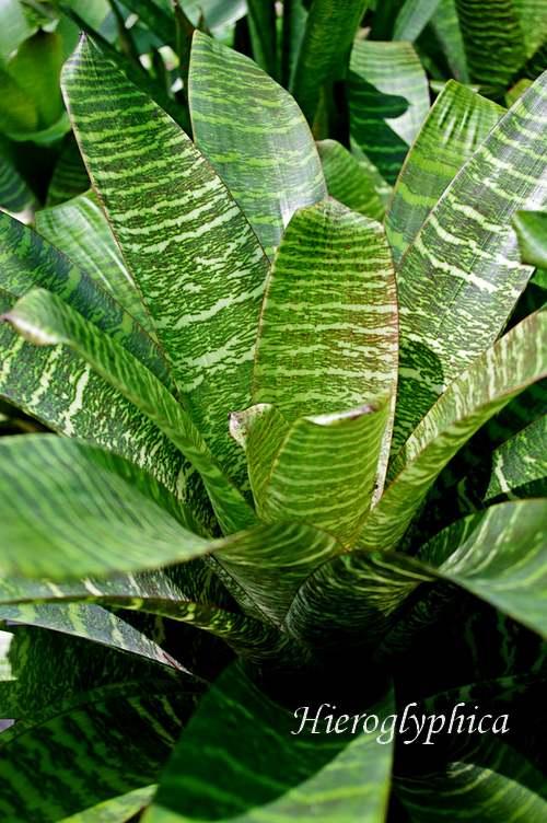 Plante d'Intérieur : VRIESEA  (Broméliacées)