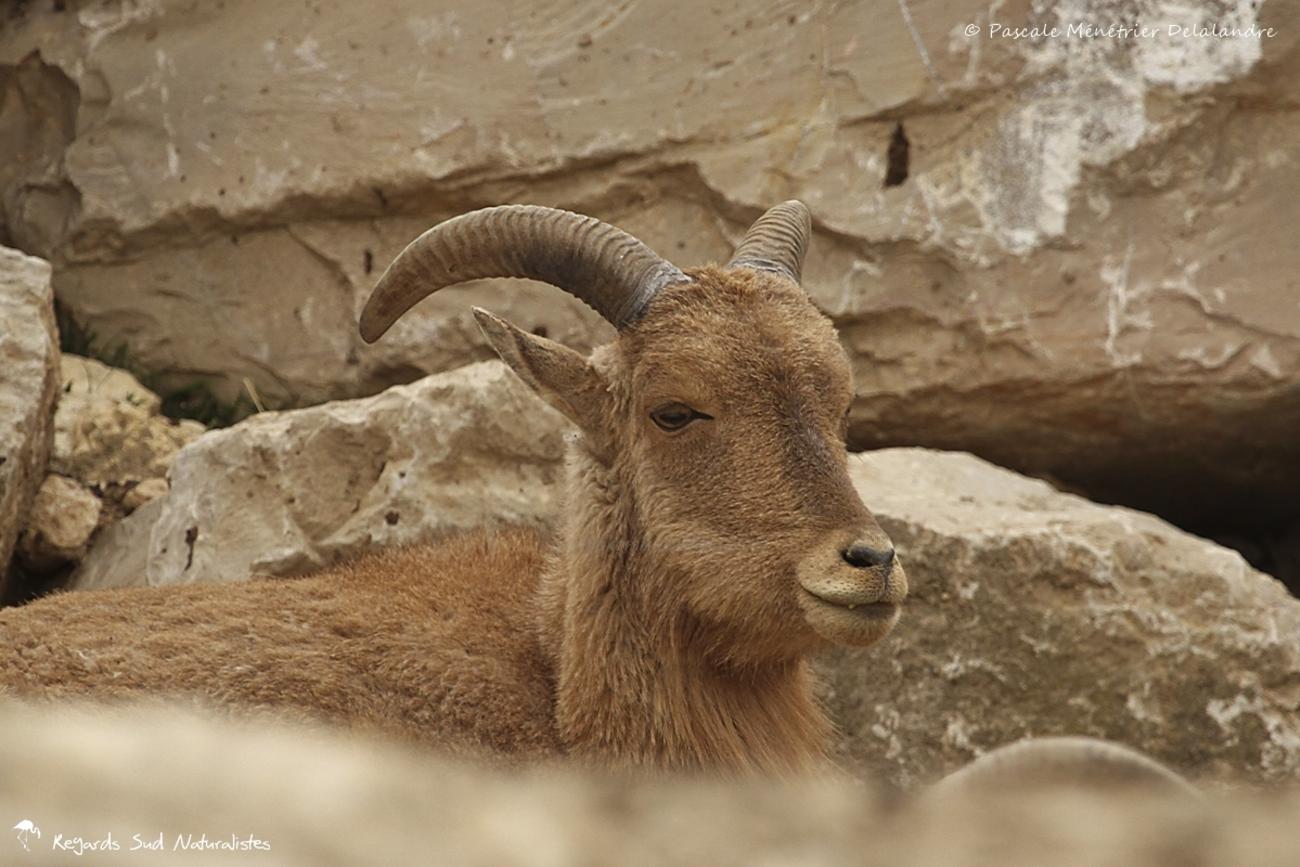 Mouflon a Manchette