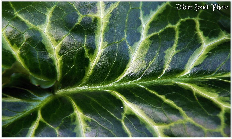 Arum d'Italie / Arum italicum