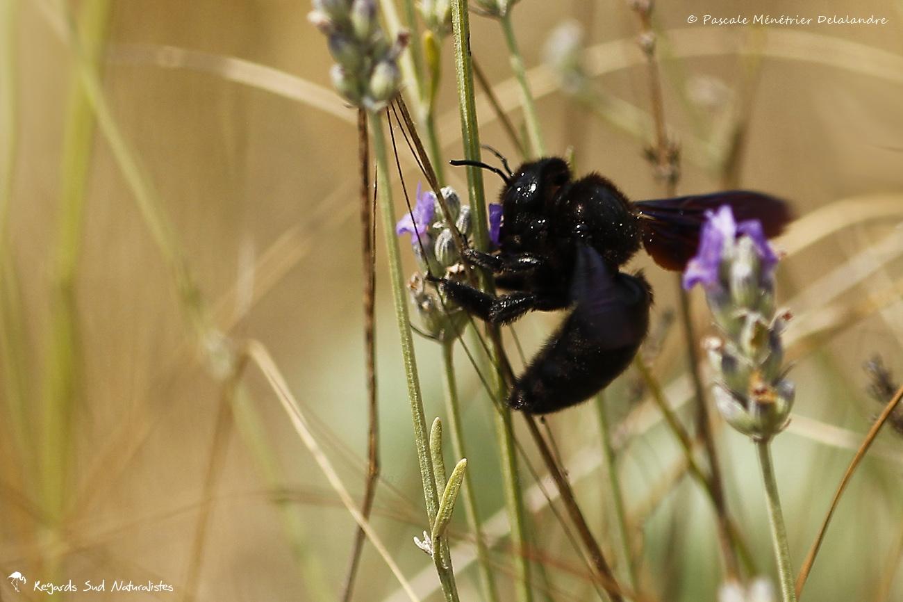 Abeille charpentière - Xylocopa violacea