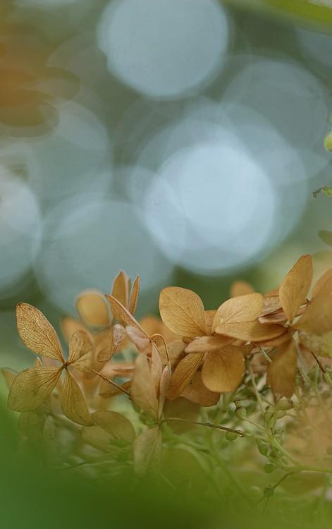 des hortensias