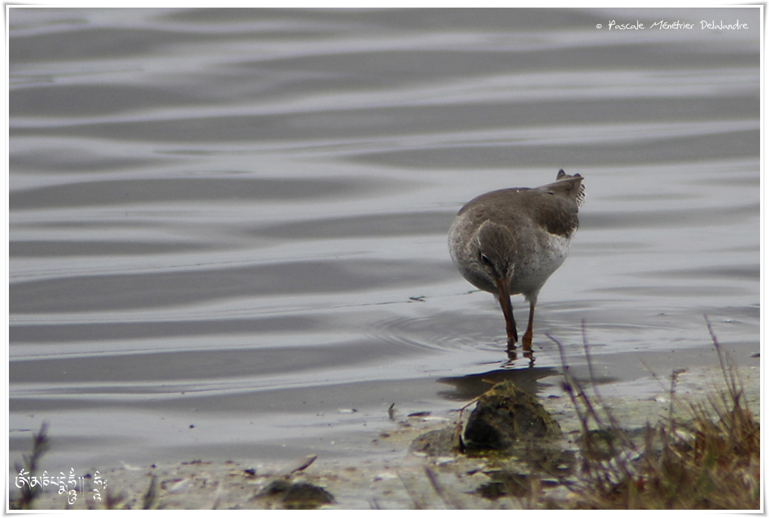 Chevalier gambette - Tringa totanus - Common Redshank