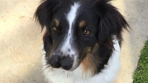 Toby le chien à deux museaux a été adopté.