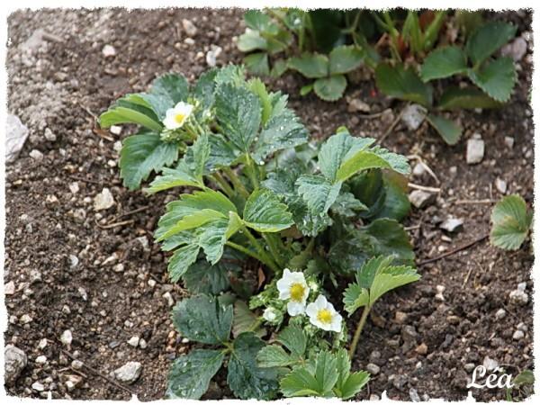 Jardin-0803-fraisiers.jpg