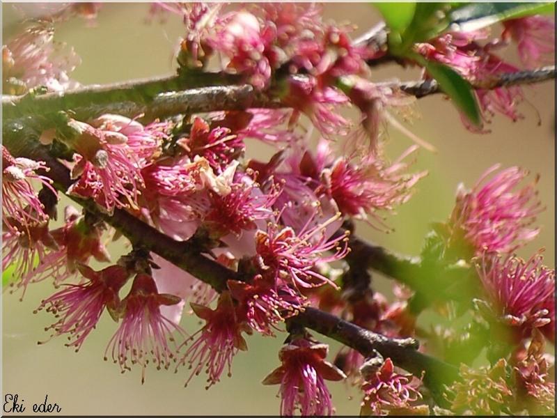 fleurs de pêchers