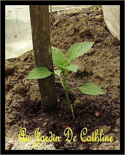 jeune plant de poivron 6 mai 2010
