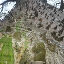 Le tronc épineux du fromager - Photo : Giloucat