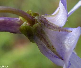 Viola reichenbachiana - violette des bois