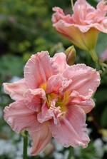 Hémérocalle Danaé d'Iris en Provence
