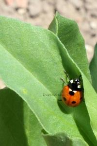 Coccinelle à 7 points ou Coccinella Septempunctata