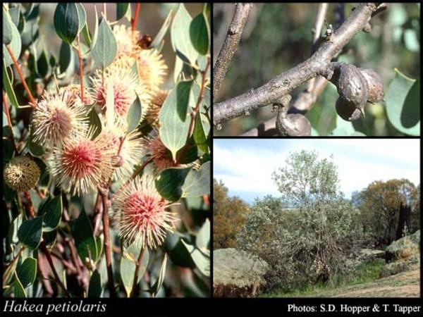 Fleures cultivées : Hakéa
