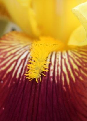 "Iris Germanica ""Agrippa"" - Zoom sur la fleur"