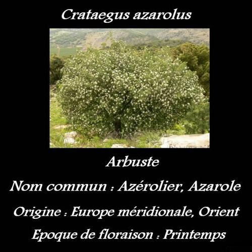 Crataegus azarolus