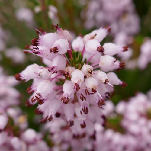 Bruyère multiflore