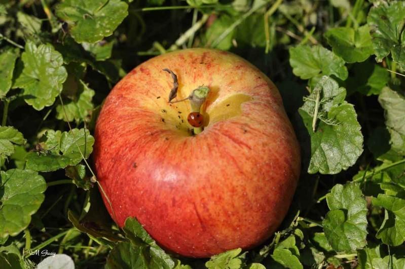 coccinelle-pomme-8606.jpg