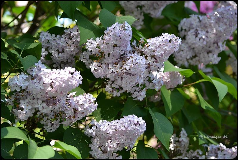 Jardin des Plantes : Le lilas