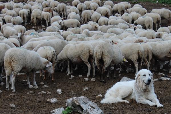 Le patou, chien de montagne, gardien des troupeaux