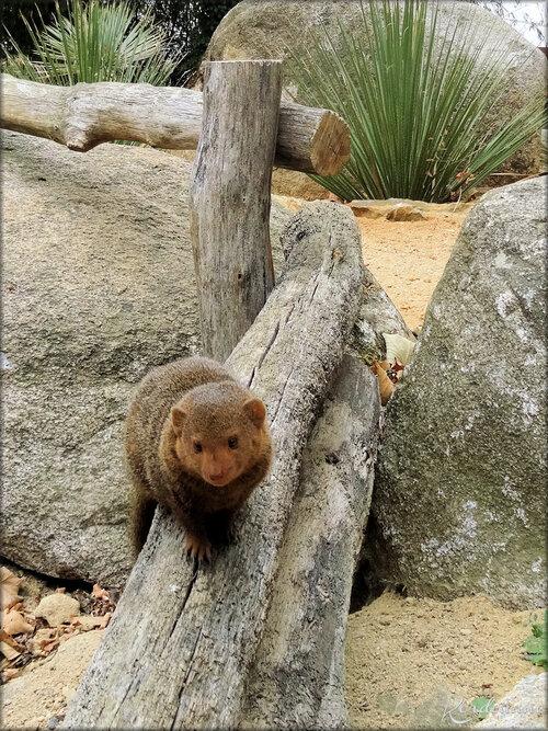 Mangouste Naine (Zoo de Doué la Fontaine)