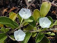 200px-Starr 010209-0279 Jacquemontia ovalifolia subsp sand