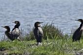 Grands Cormorans