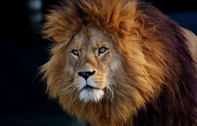 République tchèque: Un homme tué par le lion qu'il gardait sans autorisation