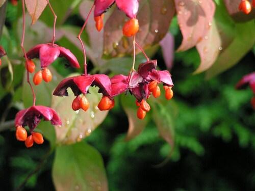 Euonymus Planipes