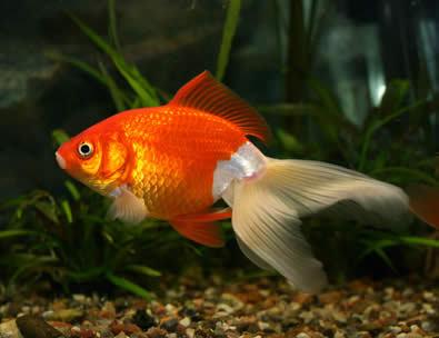 poisson-rouge.jpg