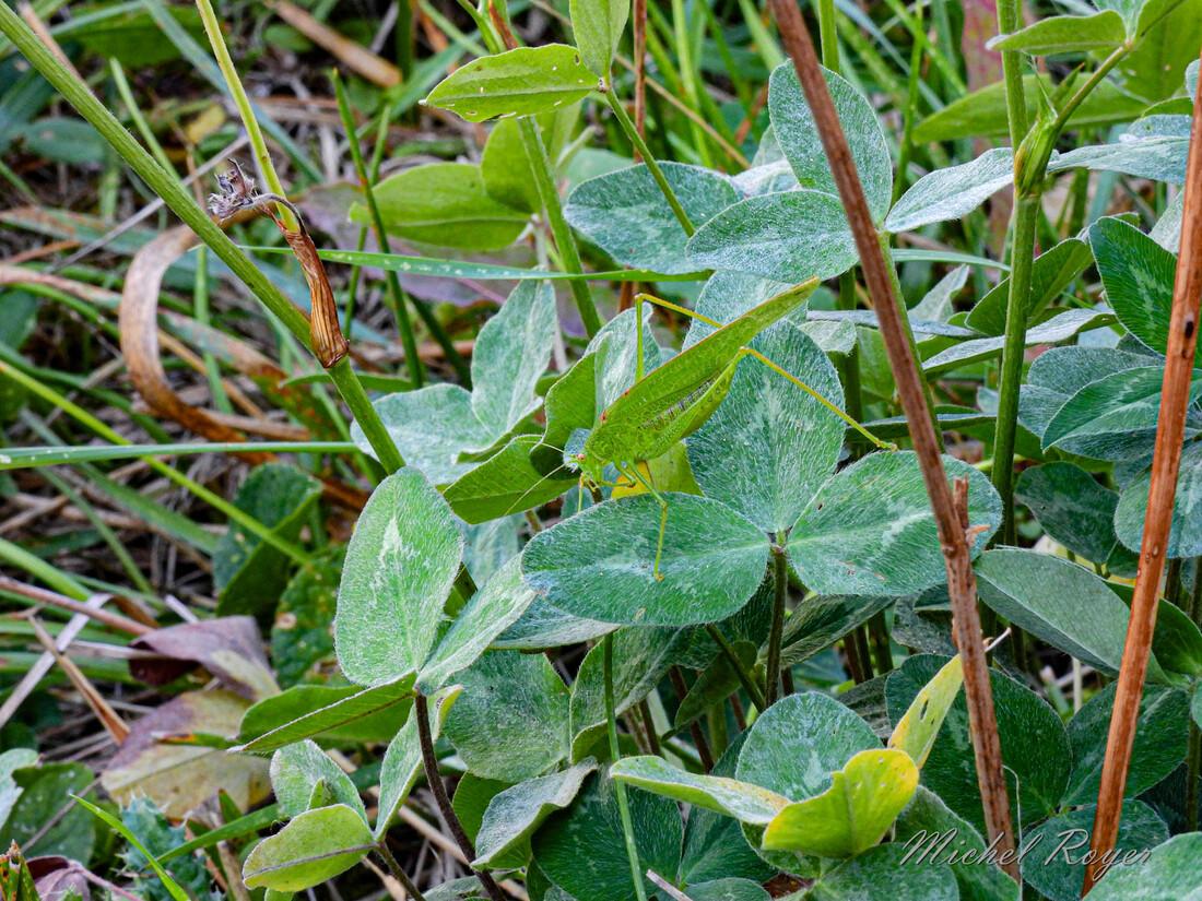 Sauterelle Phaneroptera falcata (dénouement)