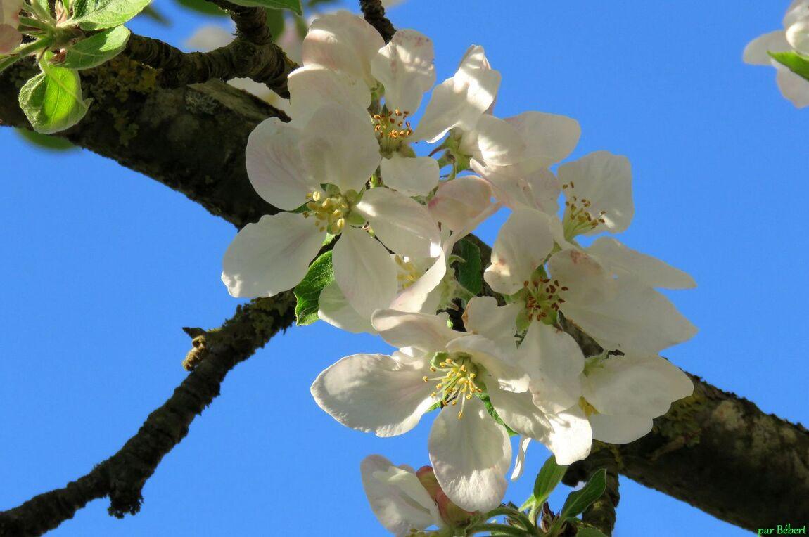 abeille sur fleurs du pommier