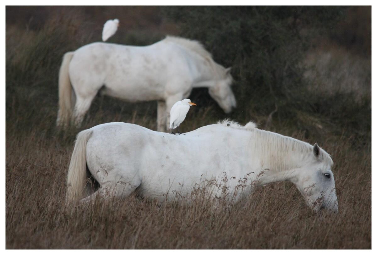 """on peut s'appeler """"garde-bœufs"""" et garder des chevaux ! (Camargue)"""