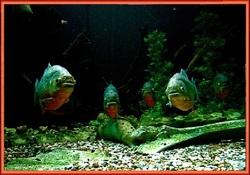 Piranha : un cannibale