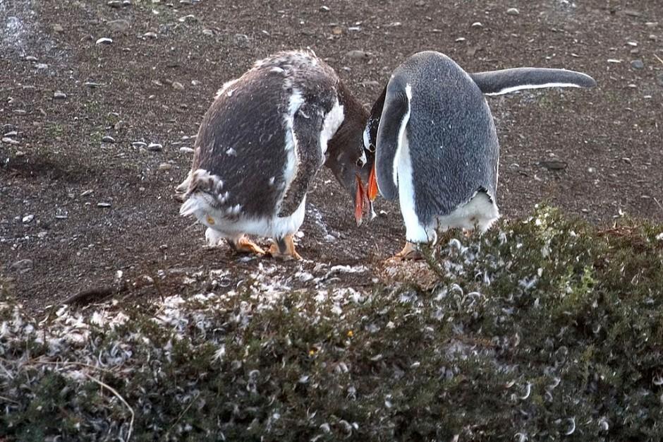 Gentoo_Penguins_Tierra_del_Fuego_Argentina_Luca_Galuzzi_2005-940x626 (1)