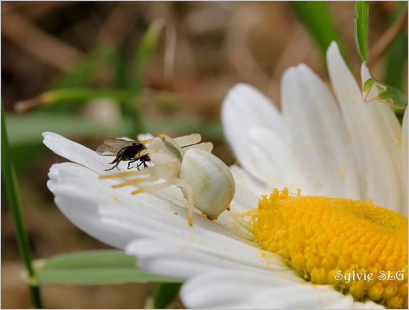 Le festin de l'araignée