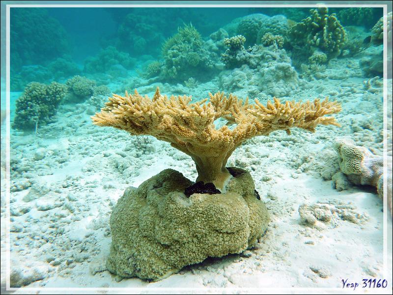 Bonsaï de corail dans son pot - Atoll de Fakarava - Tuamotu - Polynésie française