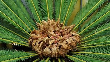 Une plante renaît après 60 millions d'années ...