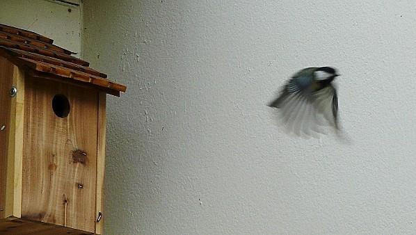 Mesch.-repart-du-nid--21-04-2010-043.jpg
