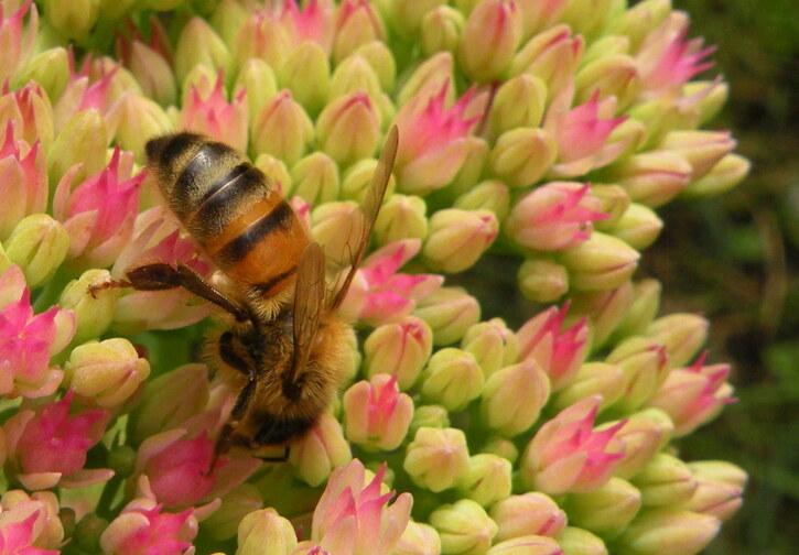 La belle abeille a bu ....